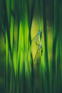 Hufeisen-Azurjungfer Paarungsrad mit starker Vignette
