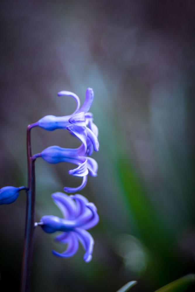 Hyazinthe 3 Blüten klar übereinander angeordnet, knappe Schärfe