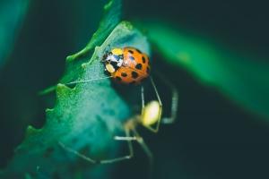 Asiatischer Marienkäfer als Beute einer rotgestreiften Kugelspinne-20190626