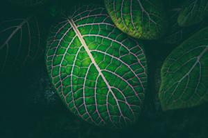 grünes Blatt mit rosafarbenen Blattadern