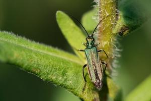 Grüner Scheinbockkäfer Weibchen