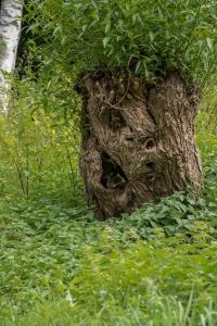 Naturgesicht Weide