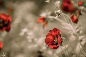 Sommerblumen in rot