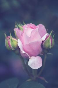 Rose rosa Törchen-20190609-2