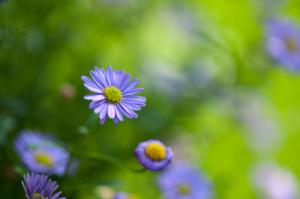 blaues Gänseblümchen