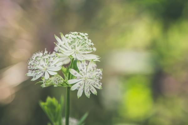 Astrantiablüte in weiß