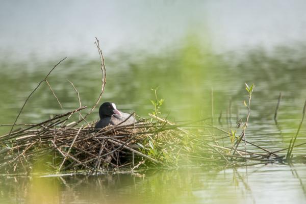 Bläßhuhn sitzt auf seinem Nest