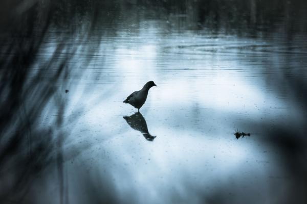 Bläßhuhn spiegelt sich im Wasser