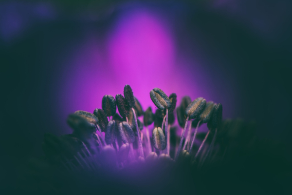 Blick in das Innere einer Anemonenblüte