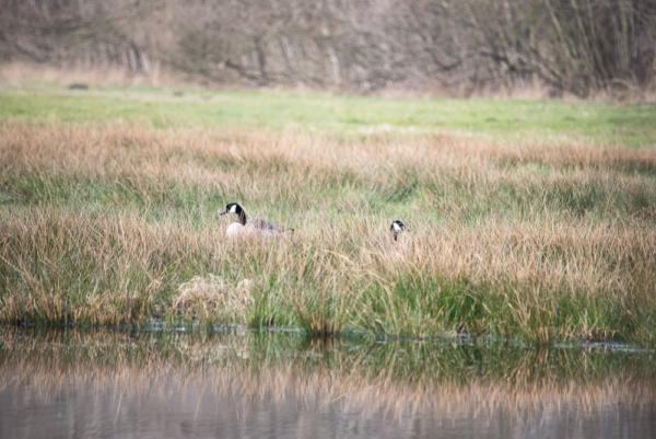 zwei Kanadagänse im Gras, der linke gut nach links, der rechte nach rechts (sind Männchen)