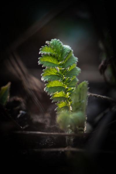 Pimpinellenblatt kommt aus der Erde
