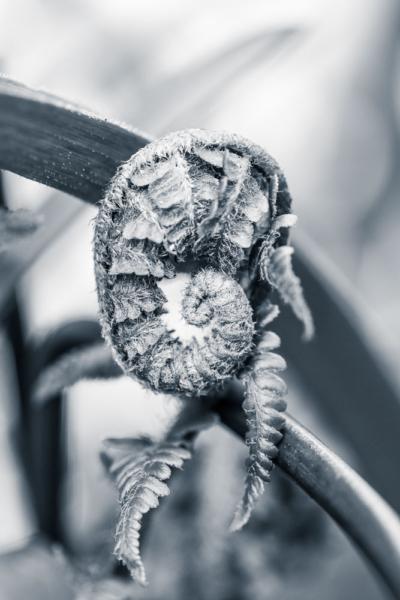 sich entwickelndes Farnblatt noch gerollt, erinnert an einen Elefantenrüssel