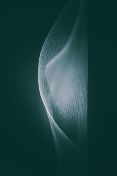 Makro eines Maiglöckchenblattes monochrom