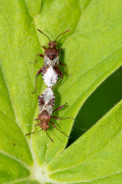 Glasflügelwanze auf einem Blatt bei der Paarung