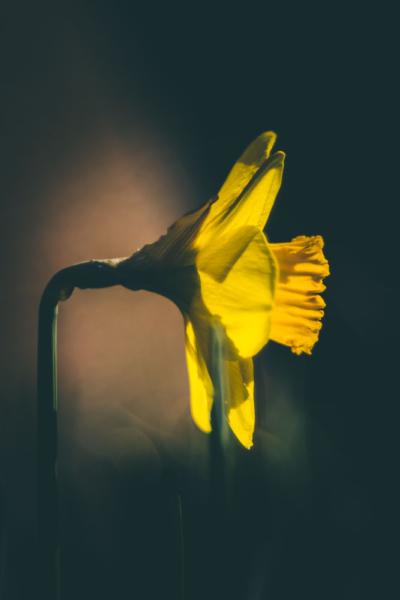 Narzisse gelb im Licht
