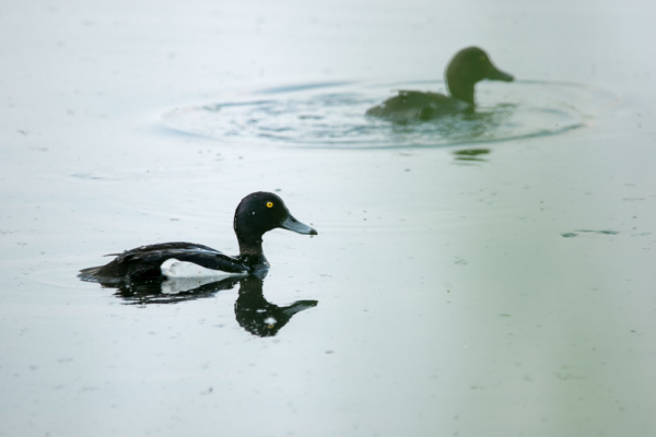 Reiherenten im Wasser, Männchen vorne klar und deutlich, Weibchen im Hintergrund unscharf