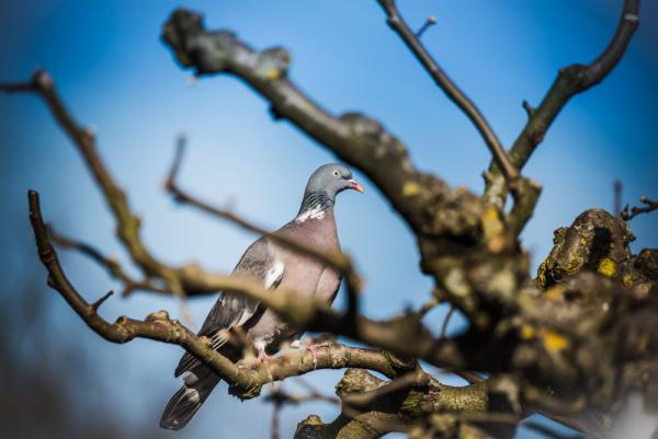 Ringeltaube im unbelaubten Apfelbaum