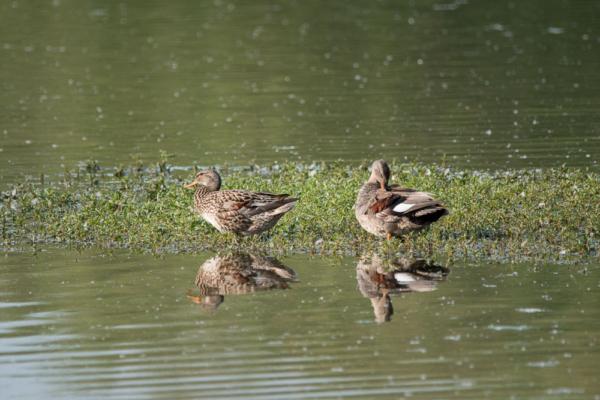 Schnatterentenpaar auf einer Teichinsel spiegelt sich im Wasser
