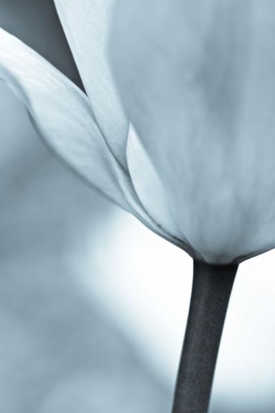 Tulpennahaufnahme vom unteren Kelchbereich und einem Teil der Blätter, monochrom