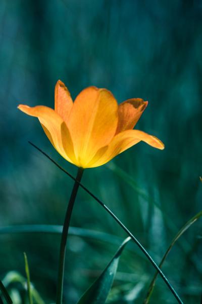 Tulpe orange aufgeblüht