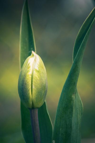 Tulpe weiß grün vor zwei ihrer Blätter